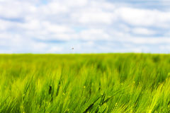 Rye wheat field and blue sky with clouds background Royalty Free Stock Photo