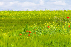 Rye wheat field and blue sky with clouds background Stock Photo