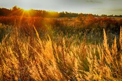 Rye (wheat) in the rays of the setting sun Royalty Free Stock Photo