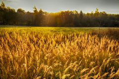 Rye (wheat) in the rays of the setting sun Royalty Free Stock Image