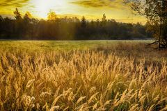 Rye (wheat) in the rays of the setting sun Stock Image