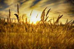 Rye (wheat) in the rays of the setting sun Stock Images