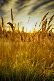 Rye (wheat) in the rays of the setting sun Stock Photos