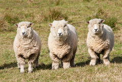 Ryedale sheep Stock Photography
