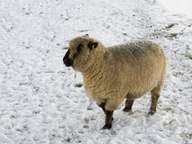 Ryeland sheep standing in a meadow with snow. The Ryeland sheep is a special variety. It is hornless and one of the oldest breeds of sheep. It comes originally Stock Photo
