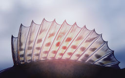 Rygg- fena av en walleye (pik-sittpinne), tonad bild royaltyfri foto