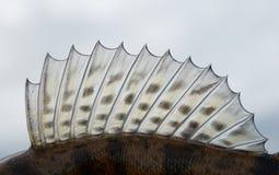 Rygg- fena av en walleye (pik-sittpinnen) royaltyfri foto