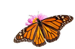 Rygg- sikt av en kvinnligmonarkfjäril arkivfoton