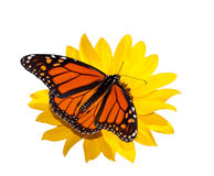Rygg- sikt av en male monarkfjäril som isoleras royaltyfria bilder