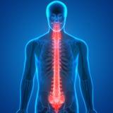 Ryggmärg per delen av mänsklig skelett- anatomi Arkivbild