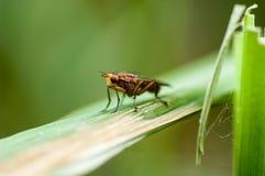 Ryggradslös ståendefluga på vassstammen Arkivbild