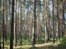 Rymlig pinjeskog på en solig dag Royaltyfria Bilder