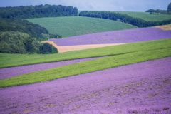 Rymliga fält av lavendellavendel- och gräsplanfält, geometriska former Fotografering för Bildbyråer