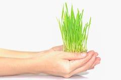 Rymma en växt mellan händer på white Arkivfoton