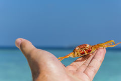 Rymma krabban i handen Royaltyfri Foto