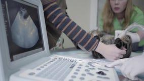 Rymmer den randiga fluffiga katten för tigern i den veterinär- kliniken, folk ett husdjur och en veterinär- specialist som gör ti arkivfilmer