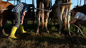 Ryots cow prepare milking. Young farmers ryots couple prepare cow animals for milking in rural farm circa June 2013 in Livonys, Lithuania stock video