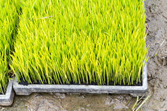 Ryżowa rozsada Zdjęcia Stock