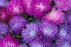 Ryschiga purpurfärgade aster i sommarträdgården En chinensis bukett av den blommande callistephusen Arkivbild