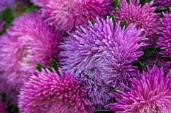 Ryschiga purpurfärgade aster i sommarträdgården En chinensis bukett av den blommande callistephusen Arkivfoto