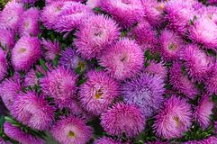 Ryschiga purpurfärgade aster i sommarträdgården En chinensis bukett av den blommande callistephusen Royaltyfria Bilder