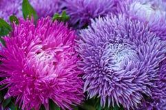 Ryschiga purpurfärgade aster i sommarträdgården En chinensis bukett av den blommande callistephusen Royaltyfri Bild