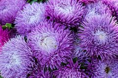 Ryschiga purpurfärgade aster i sommarträdgården En chinensis bukett av den blommande callistephusen Royaltyfri Fotografi