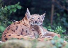 Rysia kota figlarek bawić się Zdjęcia Royalty Free