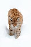 Rysia odprowadzenie w śniegu Portret Eurazjatycki ryś w zimie Przyrody scena od Czeskiej natury Śnieżny kot w natury siedlisku Sz Obrazy Stock