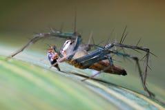 rysia pająk Obrazy Royalty Free