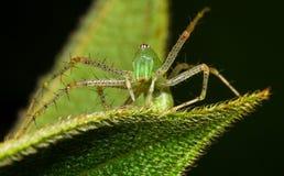 Rysia pająk Zdjęcie Royalty Free