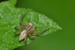 Rysia pająk przygotowywający czaić się zdjęcia stock