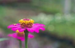 Rysia pająk i cynia kwiat zdjęcie stock