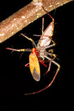 Rysia pająka karmienie Fotografia Stock