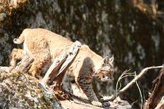 Rysia rudy polowanie Zdjęcia Royalty Free