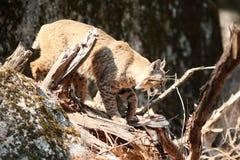 Rysia rudy polowanie Zdjęcie Royalty Free