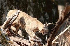 Rysia rudy polowanie Fotografia Royalty Free