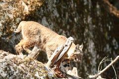 Rysia rudy polowanie Fotografia Stock