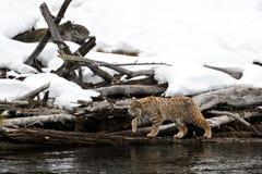 Rysia rudy polowanie wzdłuż rzeki Zdjęcie Stock