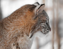 Rysia rudy (rysia rufus) profil Obraz Stock