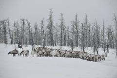 Rysk arktisk aboriginer Arkivbilder