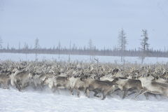 Rysk arktisk aboriginer Royaltyfria Bilder