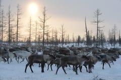 Rysk arktisk aboriginer Royaltyfri Bild