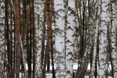 Rysk birchwood Arkivbilder