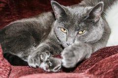 Rysk blå katt Arkivfoton