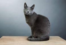 Rysk blåttkatt Royaltyfria Foton