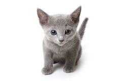 Rysk blå kattunge Arkivfoto