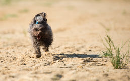 Rysk färgvarvhund för en gå Arkivbilder