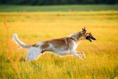 Rysk hund, snabb spring för rysk vinthund i äng för sommarsolnedgångsoluppgång Royaltyfri Foto