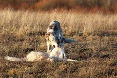 Rysk psovy rysk vinthund Fotografering för Bildbyråer
